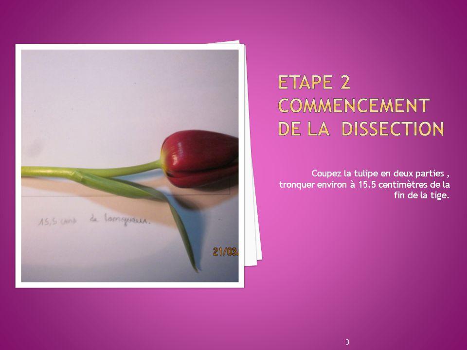 Coupez la tulipe en deux parties, tronquer environ à 15.5 centimètres de la fin de la tige. 3