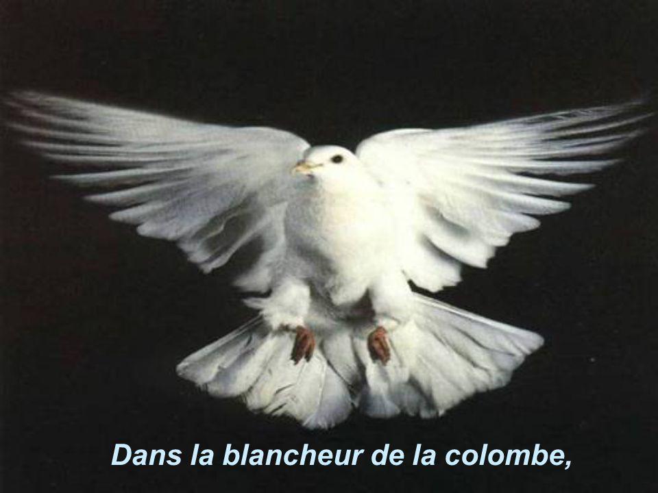 Dans la blancheur de la colombe,