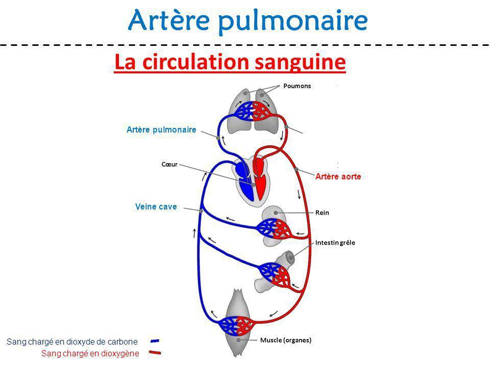 La circulation sanguine Artère pulmonaire Sang chargé en dioxygène Sang chargé en dioxyde de carbone Artère aorte Veine cave Artère pulmonaire