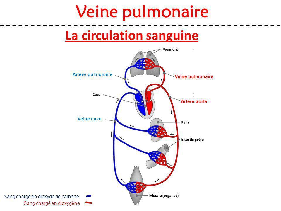 La circulation sanguine Veine pulmonaire Sang chargé en dioxygène Sang chargé en dioxyde de carbone Artère aorte Veine cave Artère pulmonaire Veine pu