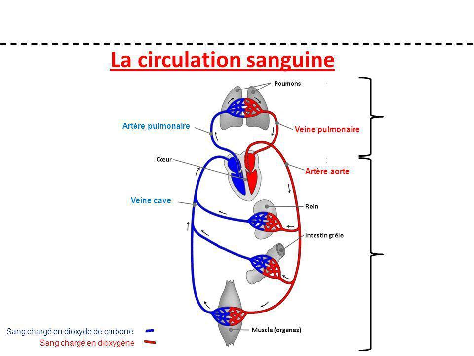 La circulation sanguine Sang chargé en dioxygène Sang chargé en dioxyde de carbone Artère aorte Veine cave Artère pulmonaire Veine pulmonaire