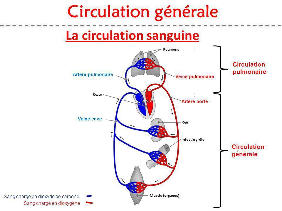 La circulation sanguine Sang chargé en dioxygène Sang chargé en dioxyde de carbone Artère aorte Veine cave Artère pulmonaire Veine pulmonaire Circulat