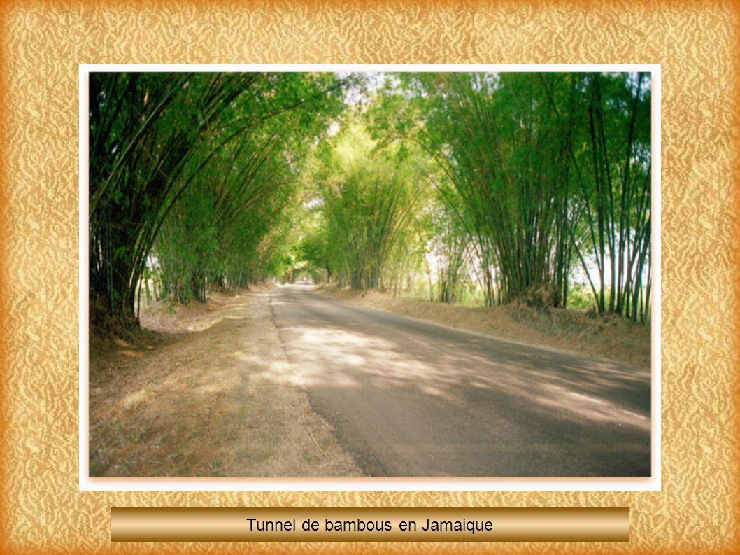 Tunnel de bambous en Jamaique