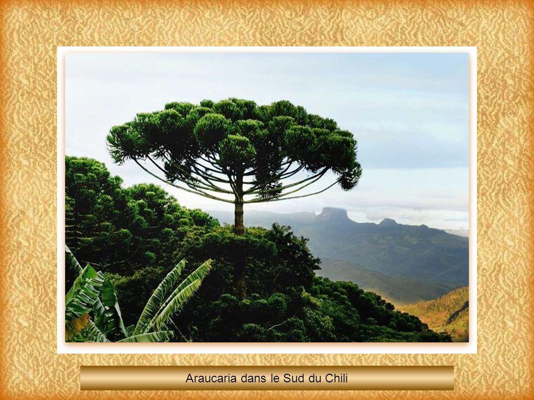 Araucaria dans le Sud du Chili