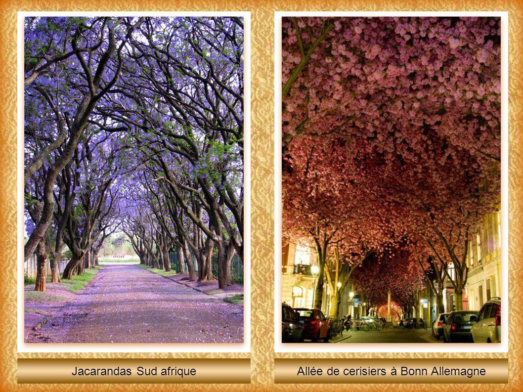 Jacarandas Sud afriqueAllée de cerisiers à Bonn Allemagne