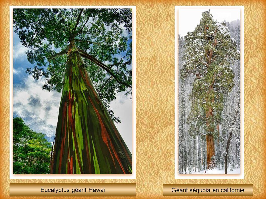 Eucalyptus géant Hawai Géant séquoia en californie