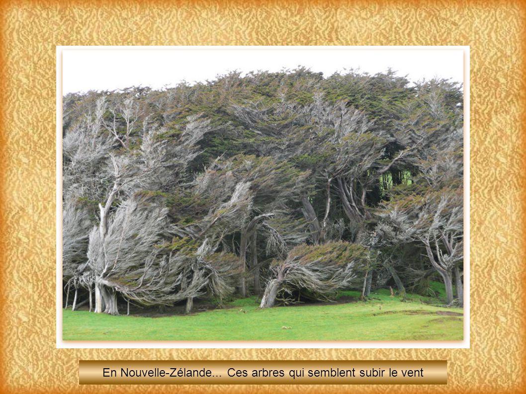 En Nouvelle-Zélande... Ces arbres qui semblent subir le vent