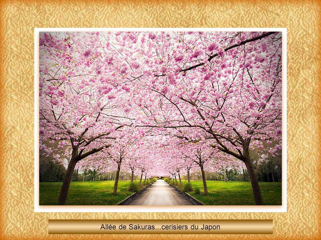 Allée de Sakuras...cerisiers du Japon