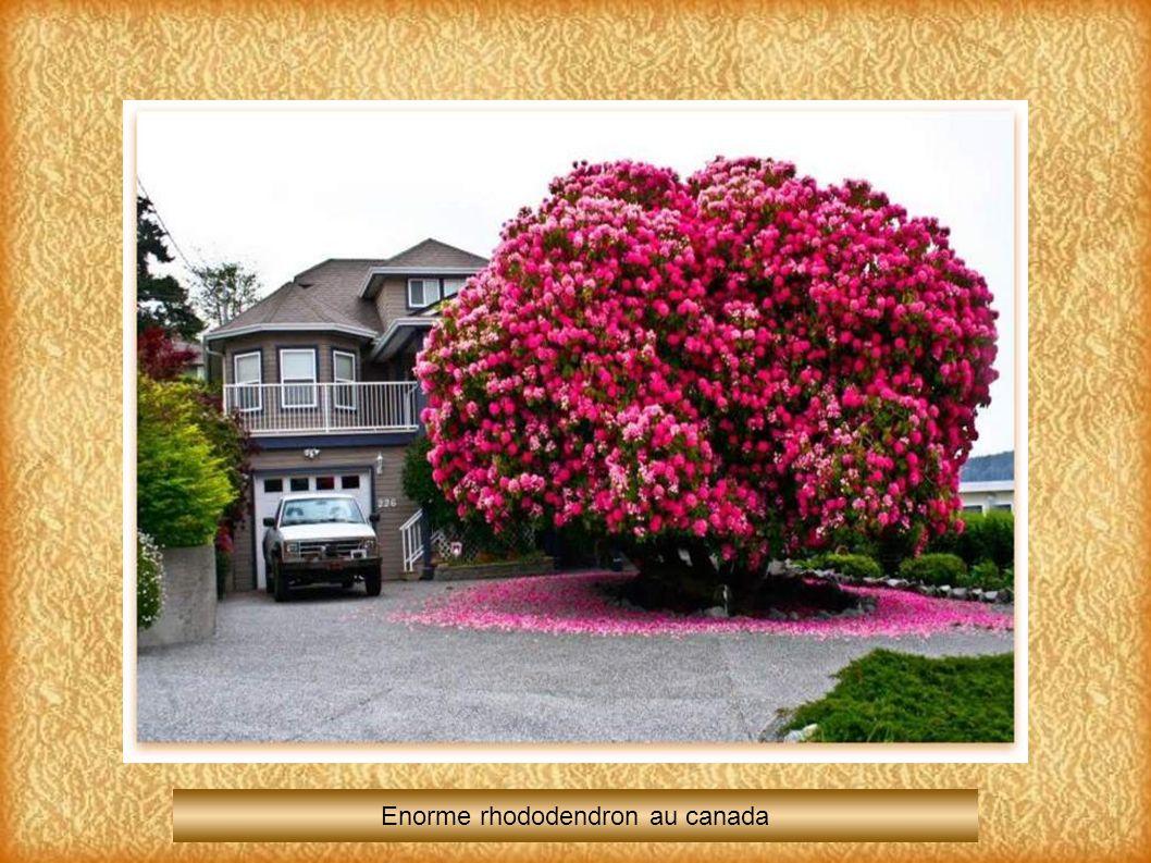 Enorme rhododendron au canada