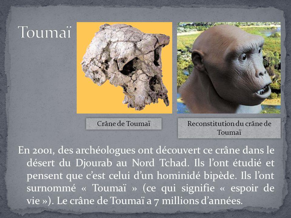 En 2001, des archéologues ont découvert ce crâne dans le désert du Djourab au Nord Tchad. Ils l'ont étudié et pensent que c'est celui d'un hominidé bi