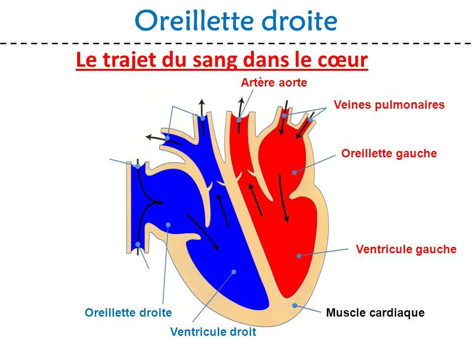 Le trajet du sang dans le cœur Oreillette droite Muscle cardiaque Veines pulmonaires Oreillette gauche Ventricule gauche Ventricule droit Oreillette d