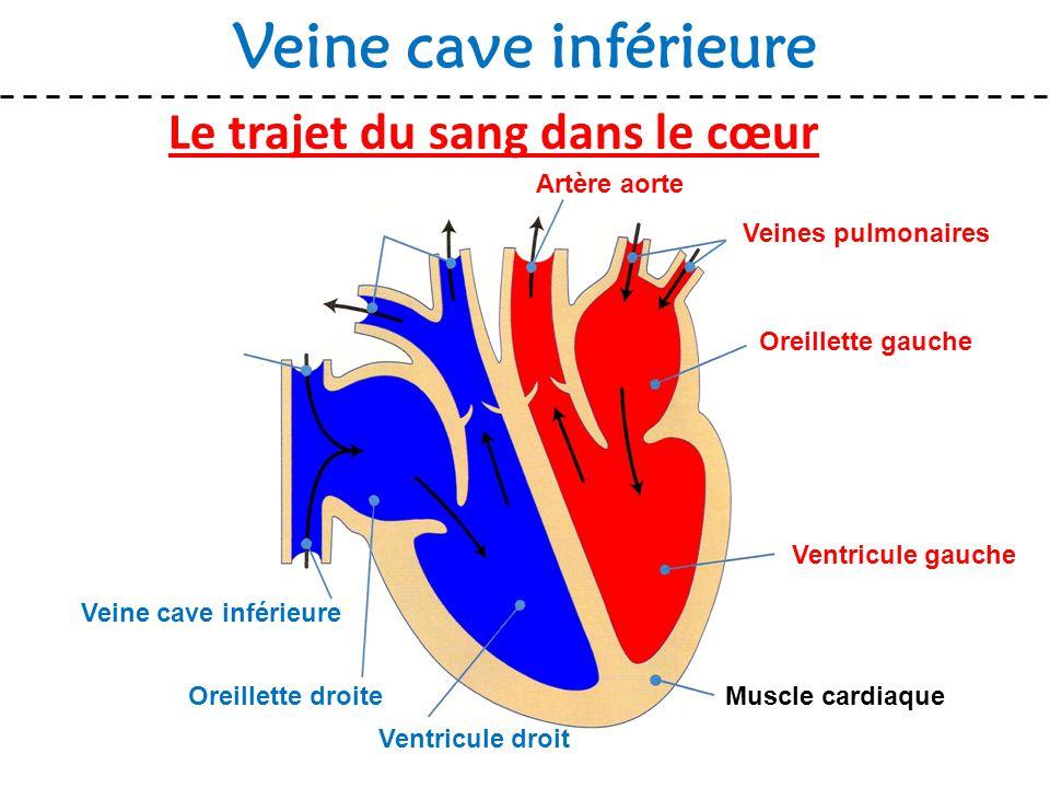 Le trajet du sang dans le cœur Veine cave inférieure Muscle cardiaque Veines pulmonaires Oreillette gauche Ventricule gauche Ventricule droit Oreillet