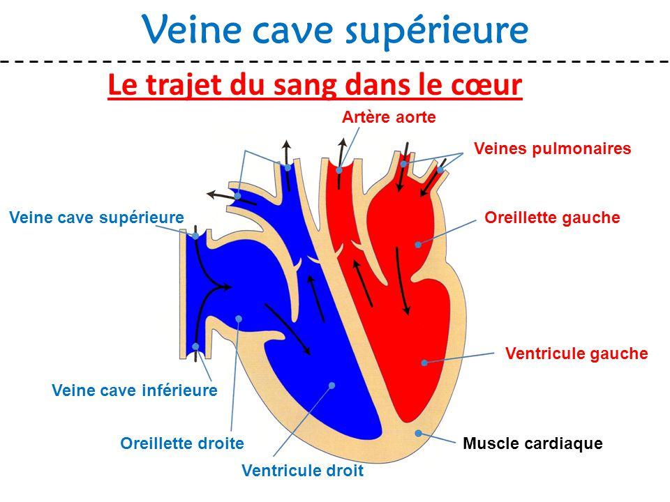 Le trajet du sang dans le cœur Veine cave supérieure Muscle cardiaque Veines pulmonaires Oreillette gauche Ventricule gauche Ventricule droit Oreillet