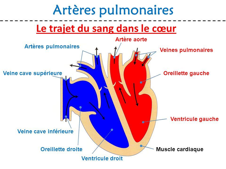 Le trajet du sang dans le cœur Artères pulmonaires Muscle cardiaque Veines pulmonaires Oreillette gauche Ventricule gauche Ventricule droit Oreillette