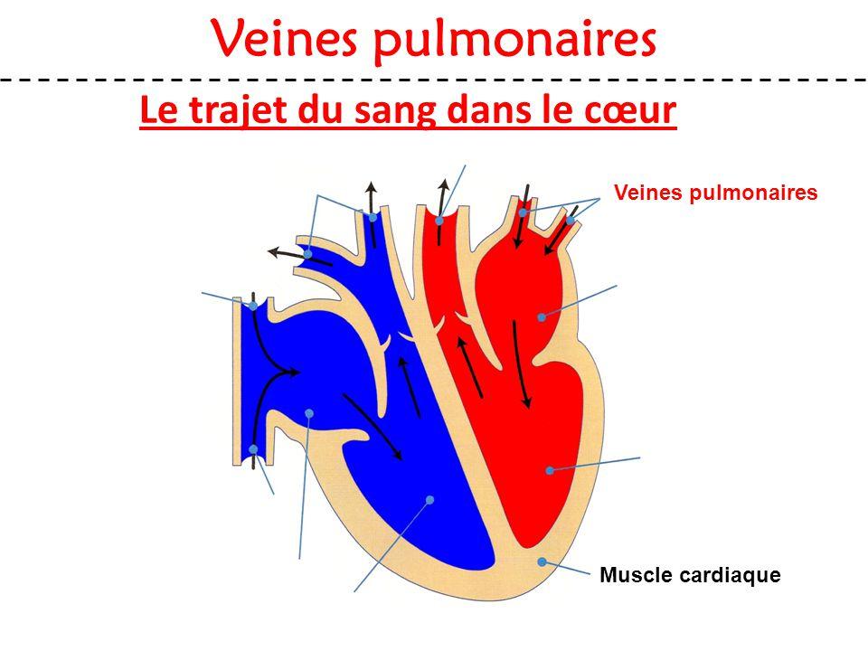 Veines pulmonaires Muscle cardiaque Veines pulmonaires