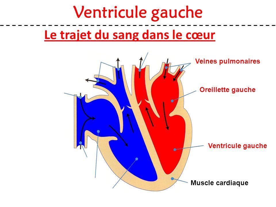 Le trajet du sang dans le cœur Ventricule gauche Muscle cardiaque Veines pulmonaires Oreillette gauche Ventricule gauche