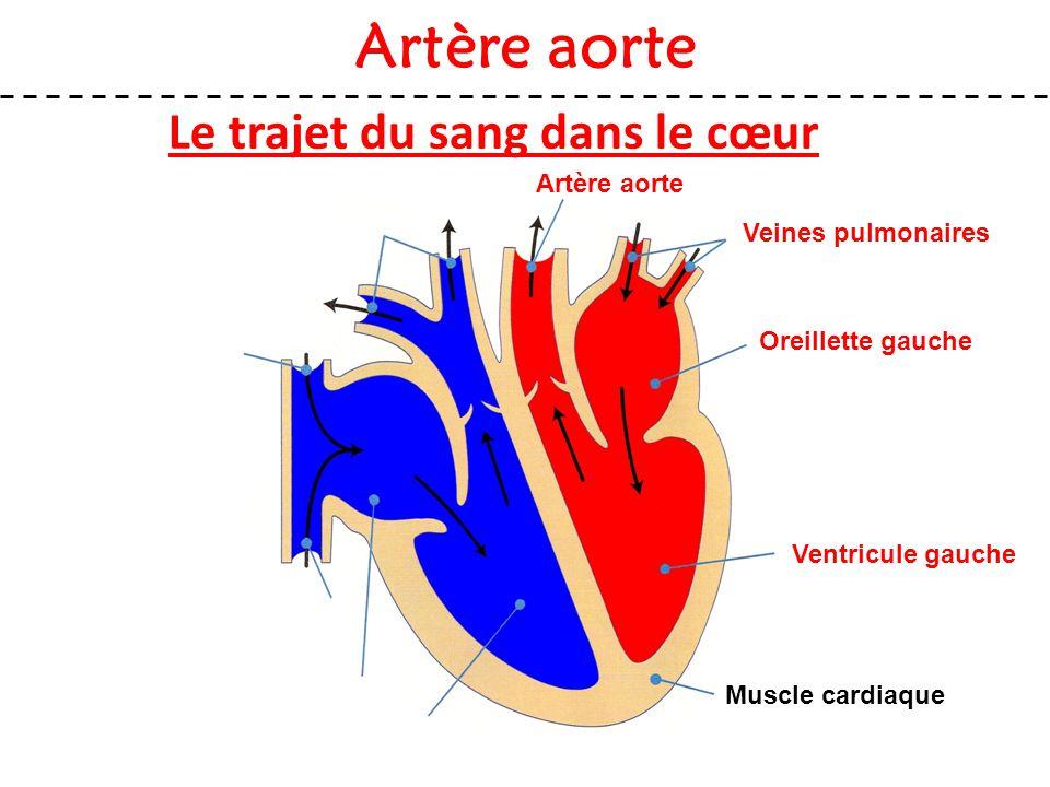 Le trajet du sang dans le cœur Artère aorte Muscle cardiaque Veines pulmonaires Oreillette gauche Ventricule gauche Artère aorte