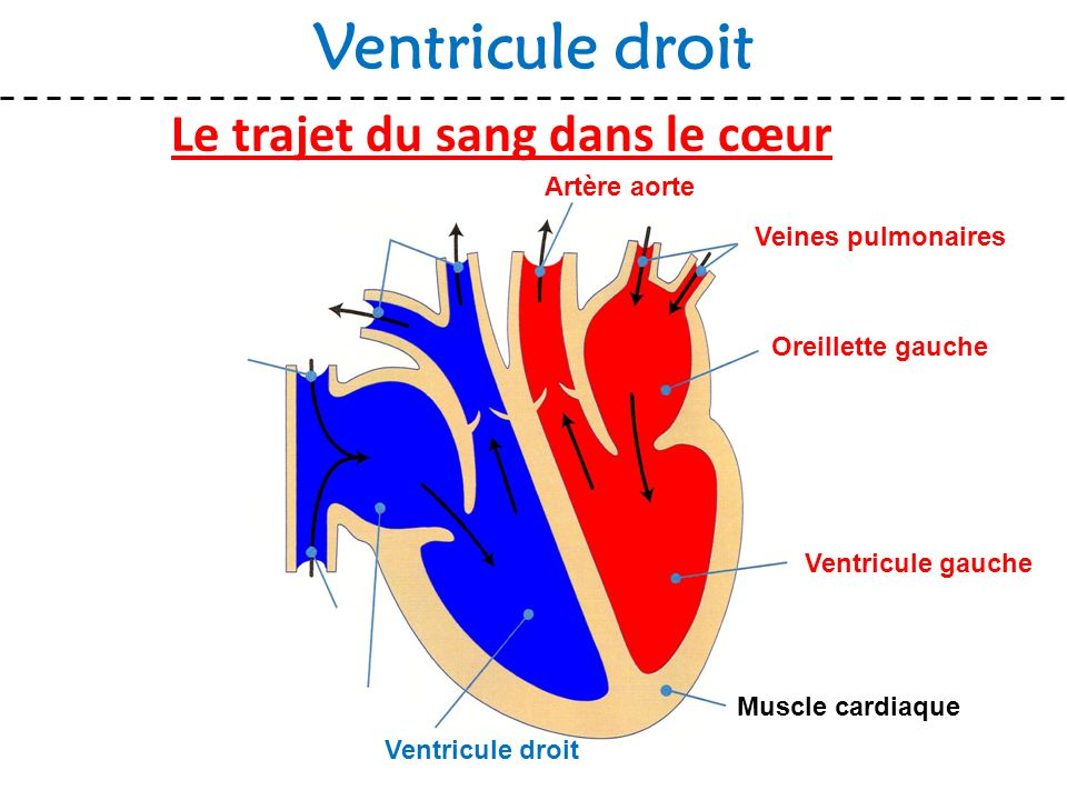 Le trajet du sang dans le cœur Ventricule droit Muscle cardiaque Veines pulmonaires Oreillette gauche Ventricule gauche Ventricule droit Artère aorte