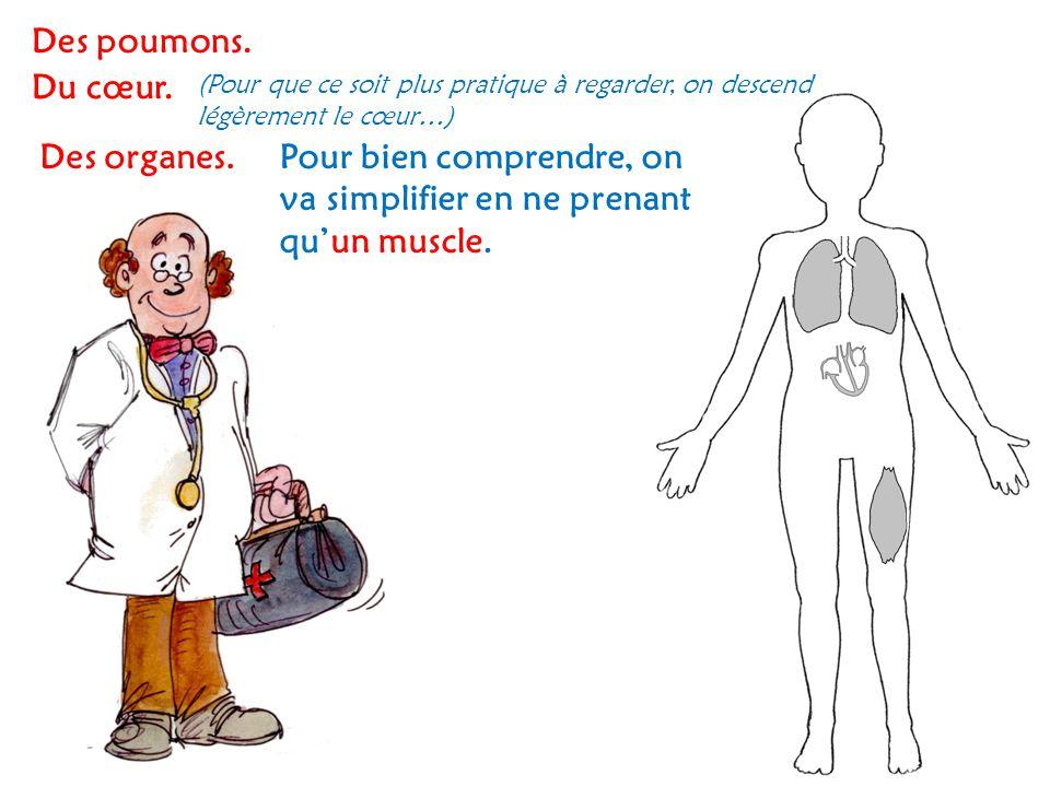 Des poumons. Du cœur. (Pour que ce soit plus pratique à regarder, on descend légèrement le cœur…) Des organes.Pour bien comprendre, on va simplifier e