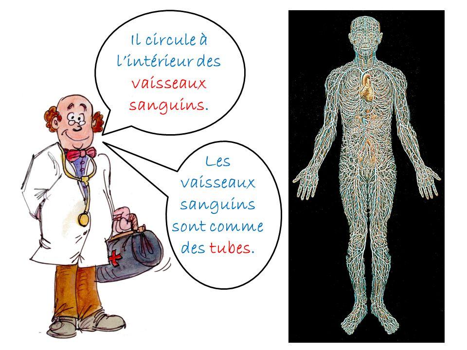 Il circule à l'intérieur des vaisseaux sanguins. Les vaisseaux sanguins sont comme des tubes.