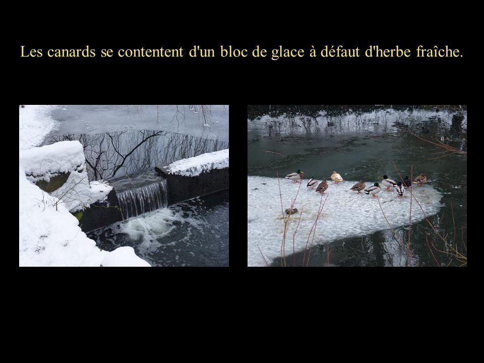 Les canards se contentent d'un bloc de glace à défaut d'herbe fraîche.