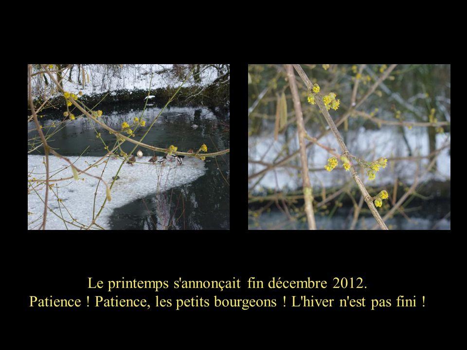 Le printemps s'annonçait fin décembre 2012. Patience ! Patience, les petits bourgeons ! L'hiver n'est pas fini !
