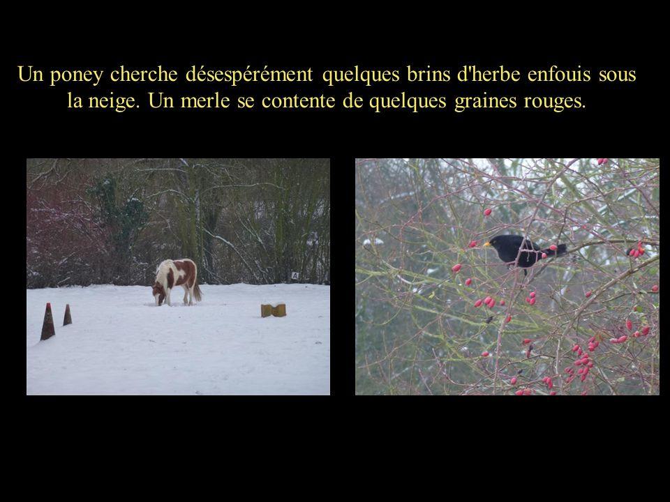 Un poney cherche désespérément quelques brins d'herbe enfouis sous la neige. Un merle se contente de quelques graines rouges.