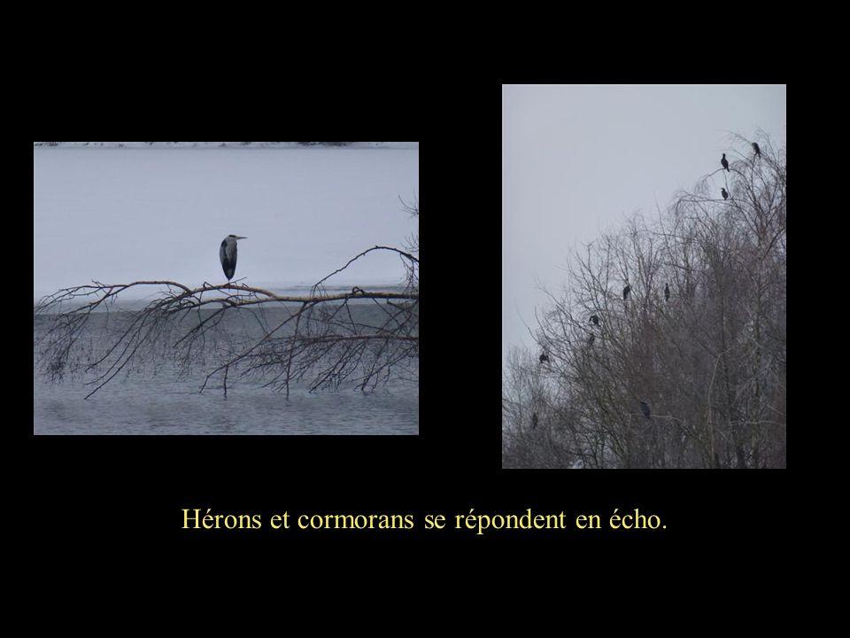 Hérons et cormorans se répondent en écho.