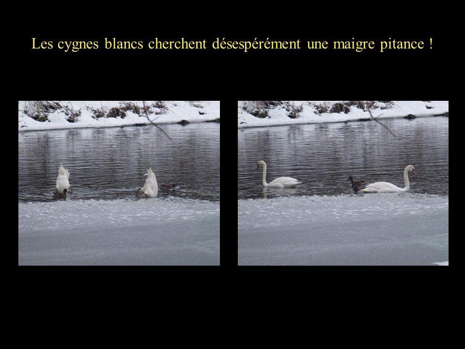 Les cygnes blancs cherchent désespérément une maigre pitance !