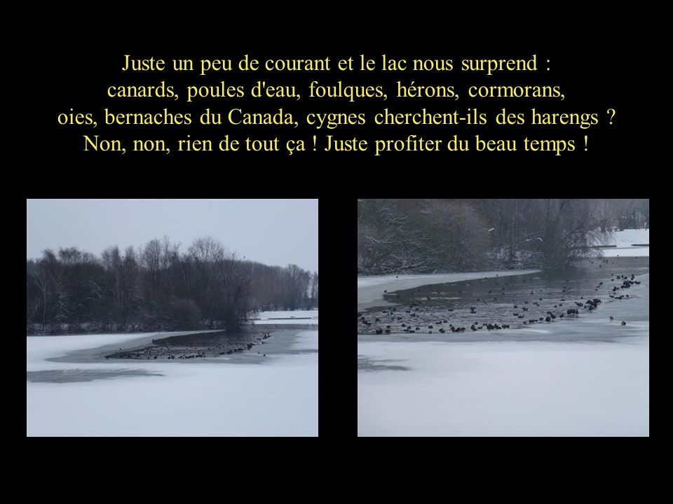 Juste un peu de courant et le lac nous surprend : canards, poules d'eau, foulques, hérons, cormorans, oies, bernaches du Canada, cygnes cherchent-ils