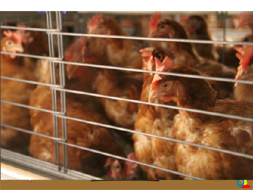 CODE 3 - EN CAGE [80%] Mention obligatoire sur la boîte : « œufs de poules élevées en cages ».