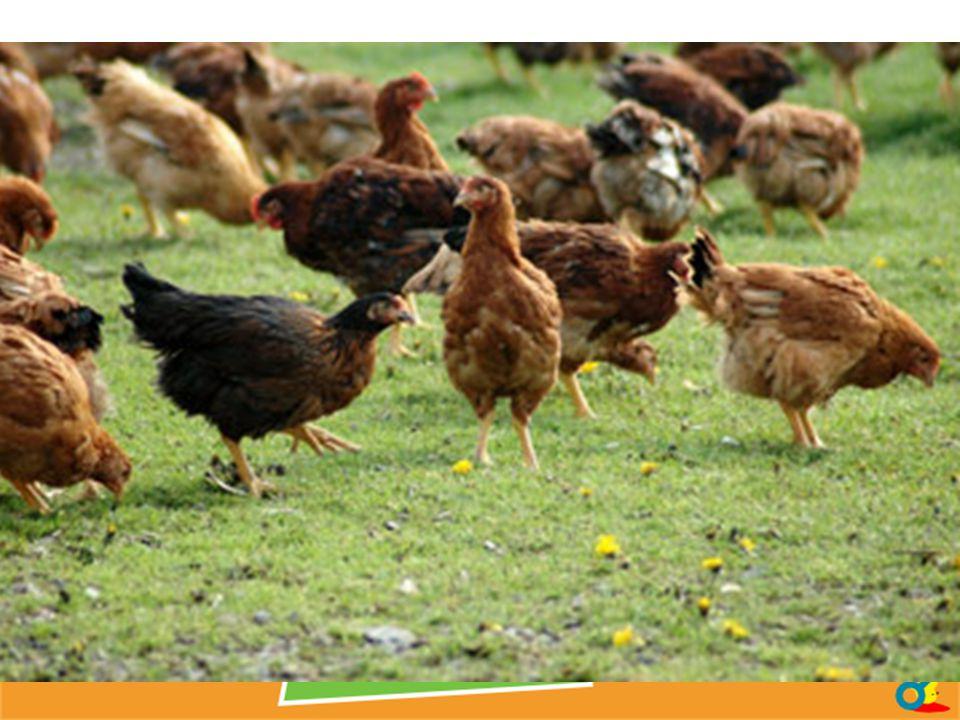 CODE 2 - AU SOL OU EN VOLIÈRE [3%] Mention obligatoire sur la boîte : « œufs de poules élevées au sol ». Ces poules ne sont pas en cages, mais restent