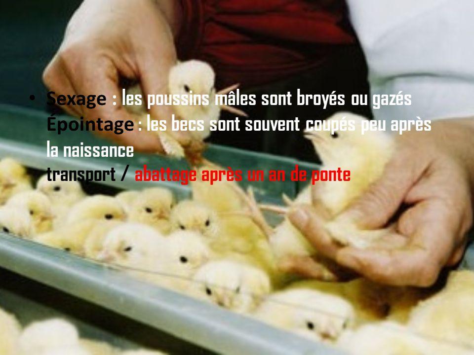 ALTERNATIVES AUX OEUFS Quel que soit l'élevage, la vie des poules prend fin prématurément : après un an de ponte intensive, elles sont abattues pour ê
