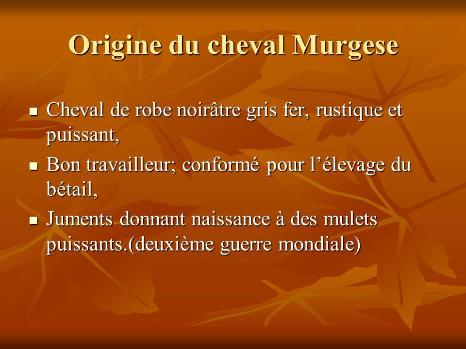 Origine du cheval Murgese Cheval de robe noirâtre gris fer, rustique et puissant, Cheval de robe noirâtre gris fer, rustique et puissant, Bon travaill
