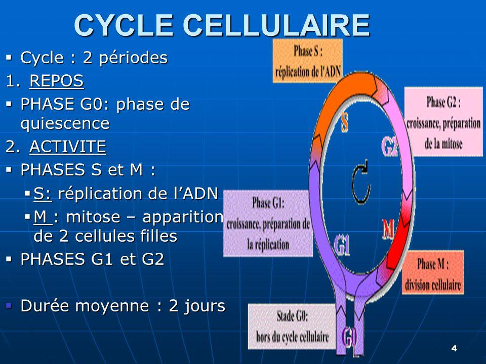 CYCLE CELLULAIRE 4  Cycle : 2 périodes 1.REPOS  PHASE G0: phase de quiescence 2.ACTIVITE  PHASES S et M :  S: réplication de l'ADN  M : mitose –