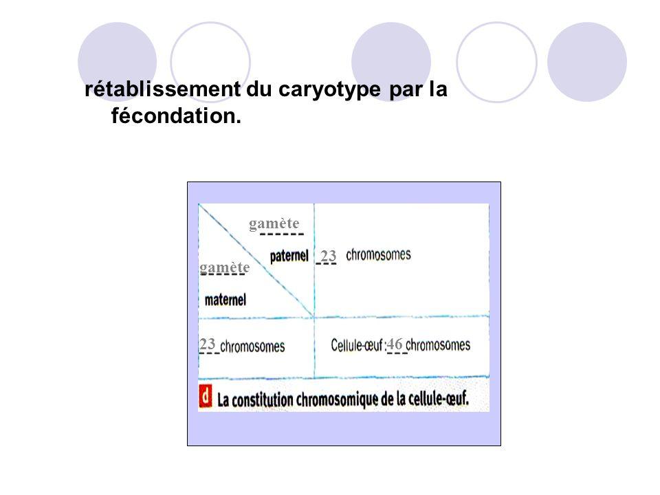 B. La fécondation rétablit le caryotype. Problème :