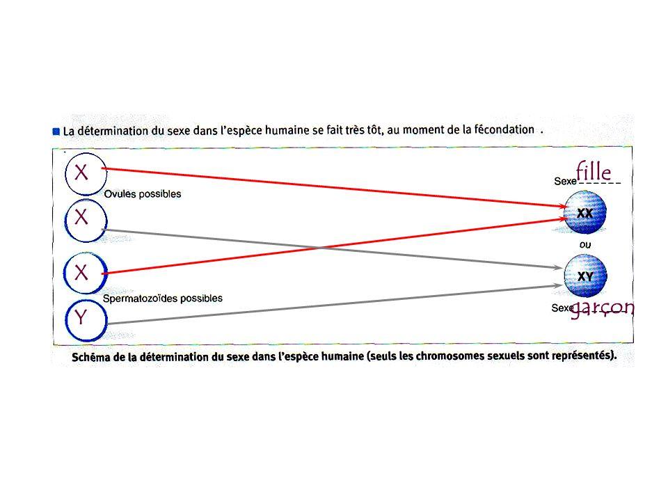 rétablissement du caryotype par la fécondation. gamète 23 46