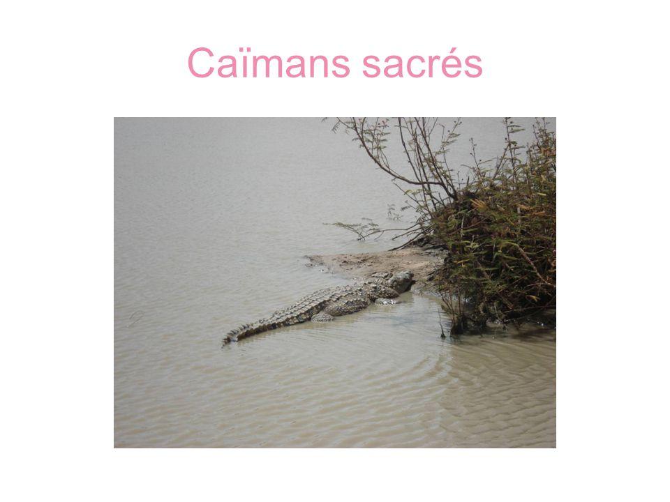 Caïmans sacrés