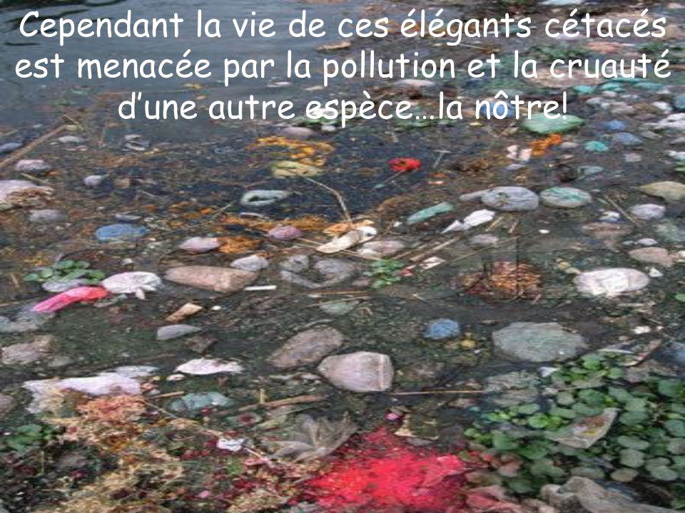 Cependant la vie de ces élégants cétacés est menacée par la pollution et la cruauté d'une autre espèce…la nôtre!
