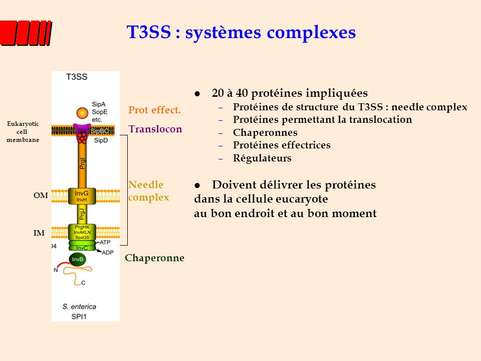 T3SS : systèmes complexes l 20 à 40 protéines impliquées – Protéines de structure du T3SS : needle complex – Protéines permettant la translocation – C