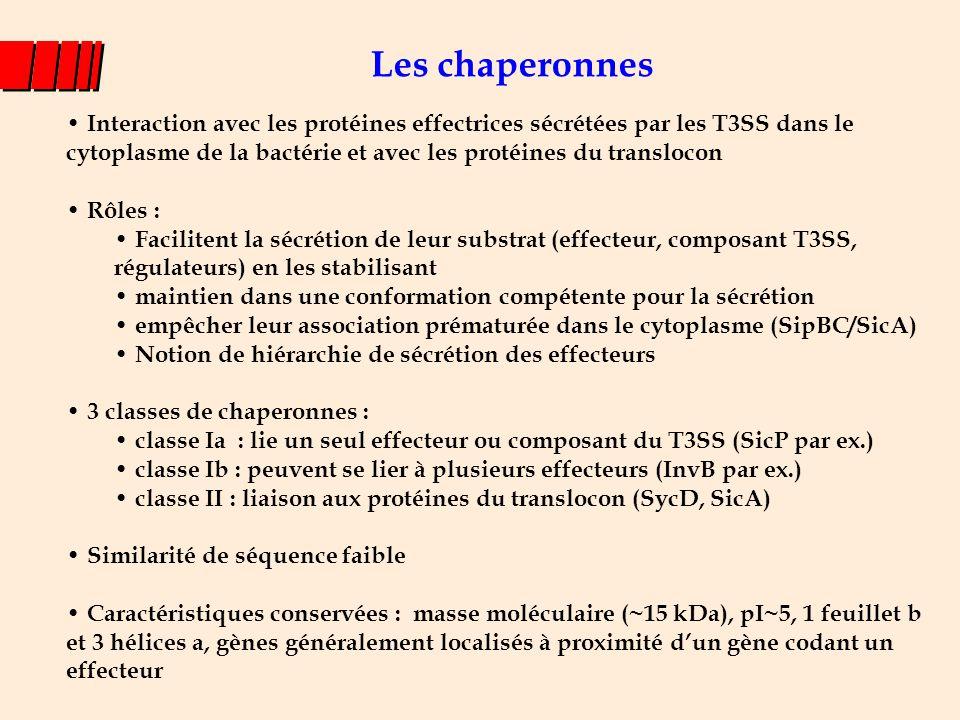 Les chaperonnes Interaction avec les protéines effectrices sécrétées par les T3SS dans le cytoplasme de la bactérie et avec les protéines du transloco