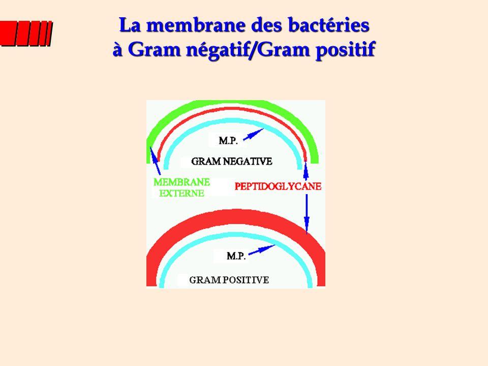 La membrane des bactéries à Gram négatif/Gram positif