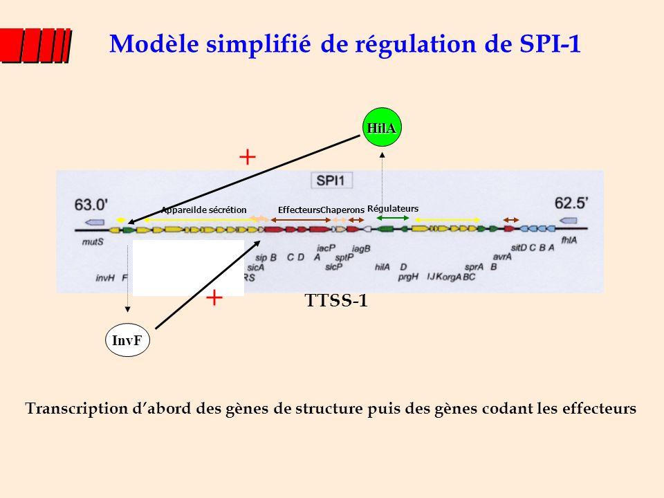 Appareilde sécrétion Effecteurs TTSS-1 Chaperons Modèle simplifié de régulation de SPI-1 Régulateurs InvF HilA + + Transcription d'abord des gènes de
