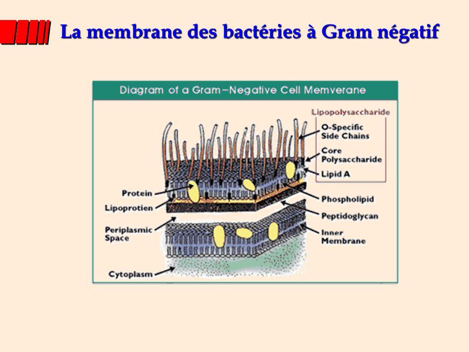 La membrane des bactéries à Gram négatif