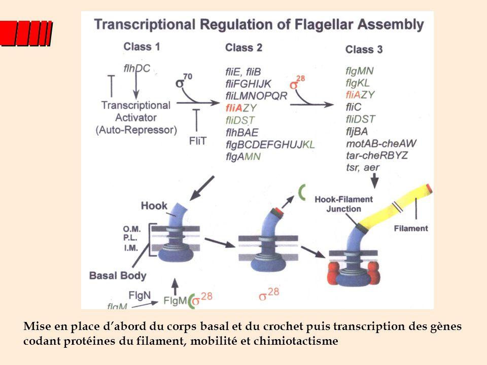 Mise en place d'abord du corps basal et du crochet puis transcription des gènes codant protéines du filament, mobilité et chimiotactisme