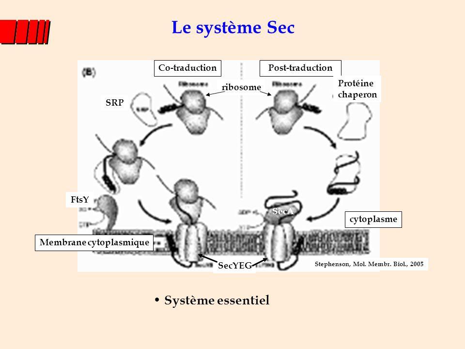 Le système Sec Système essentiel Membrane cytoplasmique Co-traductionPost-traduction ribosome SRP Protéine chaperon cytoplasme SecA SecYEG FtsY Stephe