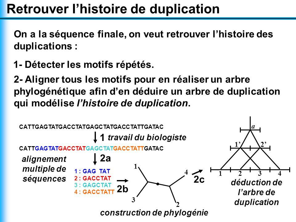 Retrouver l'histoire de duplication On a la séquence finale, on veut retrouver l'histoire des duplications : CATTGAGTATGACCTATGAGCTATGACCTATTGATAC 1 1 : GAG TAT 2 : GACCTAT 3 : GAGCTAT 4 : GACCTATT 2a 1 3 4 2 2b 1' 2' 2341 a 2c 2- Aligner tous les motifs pour en réaliser un arbre phylogénétique afin d'en déduire un arbre de duplication qui modélise l'histoire de duplication.