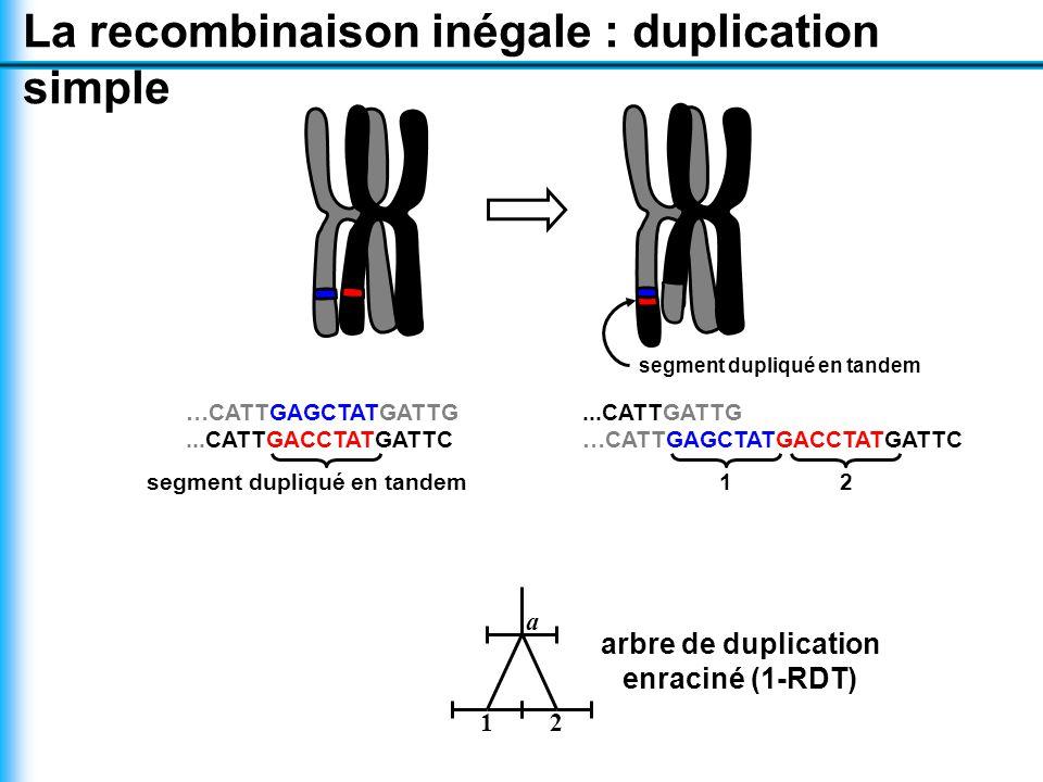 La recombinaison inégale : duplication simple segment dupliqué en tandem …CATTGAGCTATGATTG...CATTGACCTATGATTC segment dupliqué en tandem...CATTGATTG …CATTGAGCTATGACCTATGATTC 12 a 21 arbre de duplication enraciné (1-RDT)