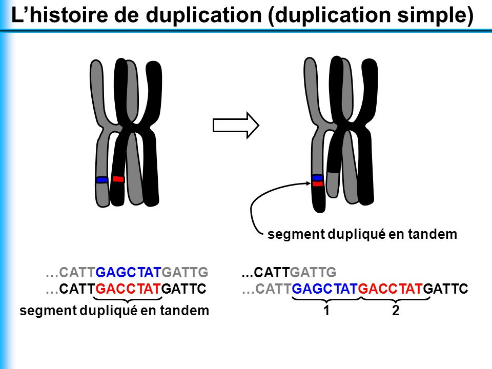 L'histoire de duplication (duplication simple) …CATTGAGCTATGATTG …CATTGACCTATGATTC segment dupliqué en tandem...CATTGATTG …CATTGAGCTATGACCTATGATTC 12