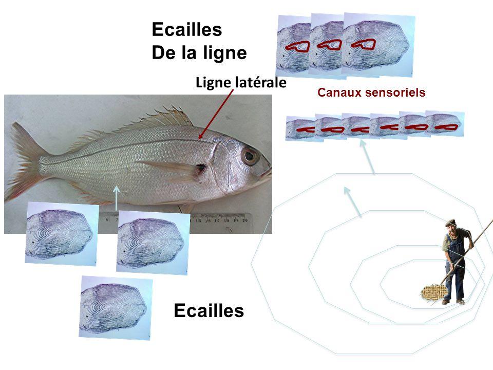 Ligne latérale Ecailles De la ligne Canaux sensoriels